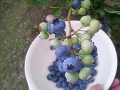 ブルーベリー収穫_600