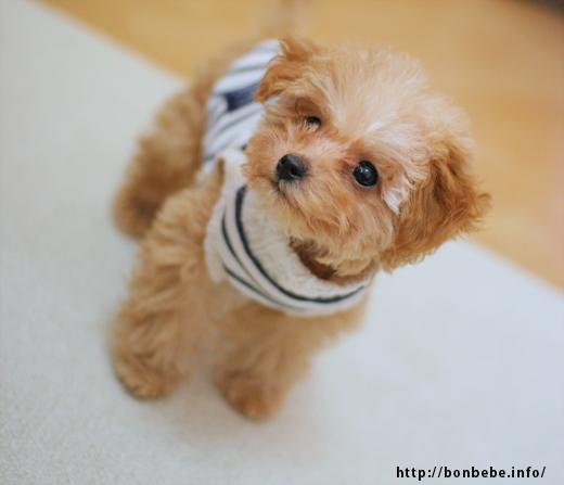 トイプードル 子犬 服