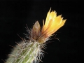Corryocactus_squarrosus1MT[1]
