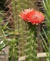 489px-Corryocactus_melanotrichus[1]