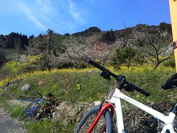 梅と自転車