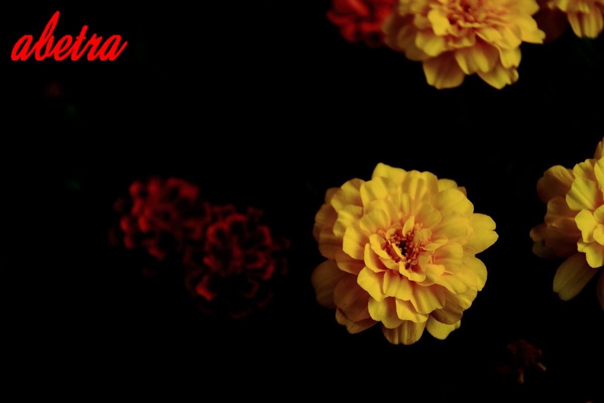 闇より現る黄花