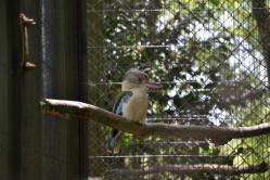 多摩動物公園 ワライカワセミ