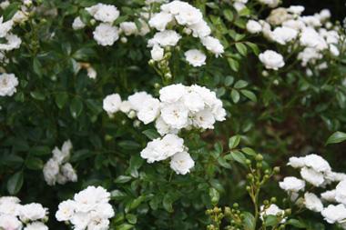 12バラ のコピー