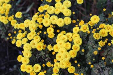 10菊 のコピー