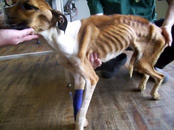2232F7622Fseverely_emaciated_dog_hope_at_vets_350x263.jpg