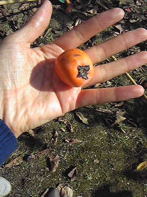 小さい柿みつけた
