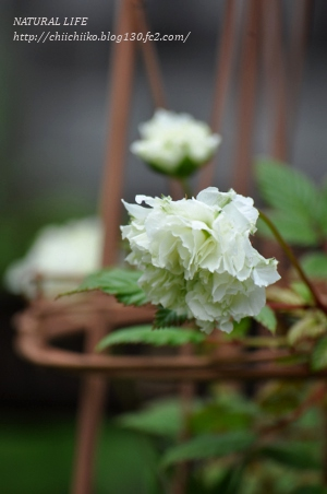 トキンイバラ 開花