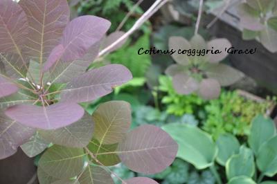 スモークツリー芽生え2012