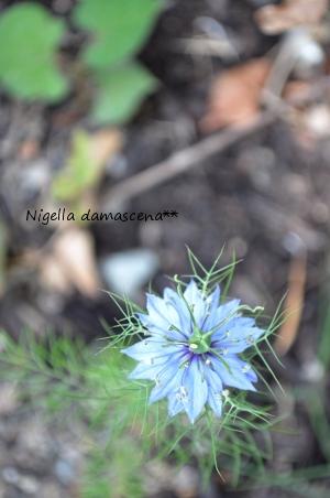 ニゲラ2012