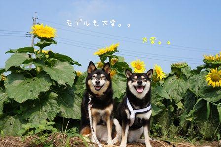 ひまわり畑だぁーー☆③