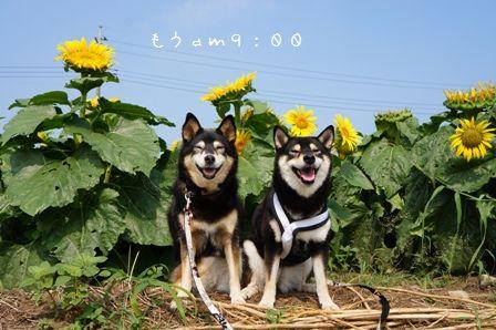 ひまわり畑だぁーー☆④