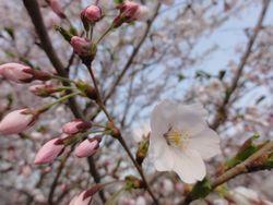 画像 138桜花びら