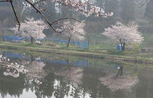 画像 141桜並木