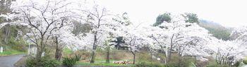 画像 145桜