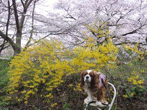 画像 139レンギョウ桜