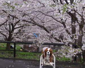画像 142桜1