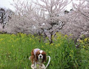 画像 148桜5
