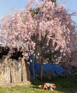 画像 137平成しだれ桜