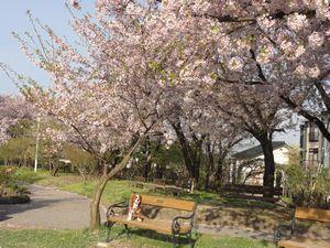 画像 141桜1