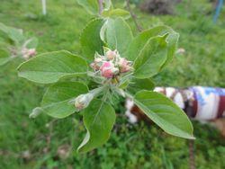 画像 143りんごの花