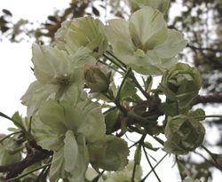 画像 138ウコン桜