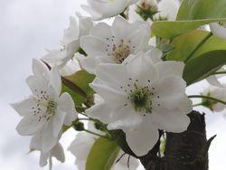 画像 136梨の花