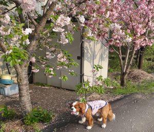 画像 139センター桜