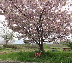 画像 153八重桜