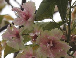 画像 157ウコン桜