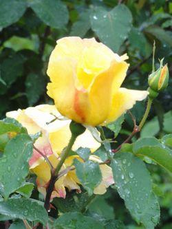 画像 145黄色バラ