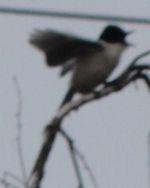 画像 141尾の長い鳥