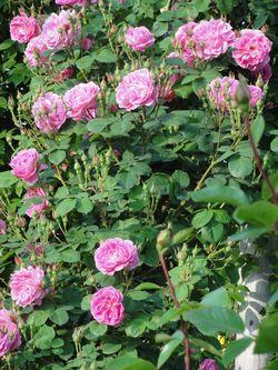 画像 151つるバラ