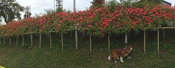 画像 141つるバラ