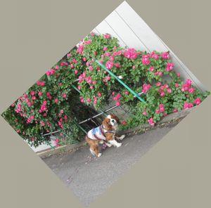 画像 139つるバラ