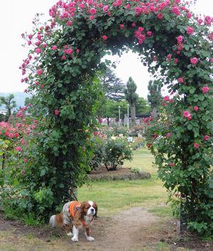画像 143薔薇のアーチ