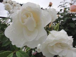 画像 148白薔薇
