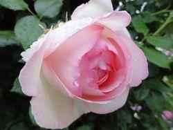 画像 149薔薇