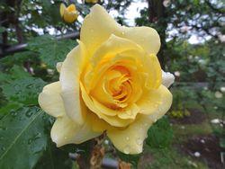 画像 141公園のバラ