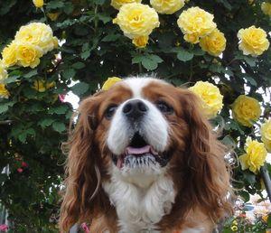 画像 157黄色いバラ