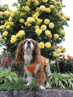 画像 158黄色いバラ