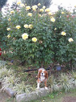 008バラ花壇