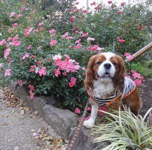 009バラ花壇