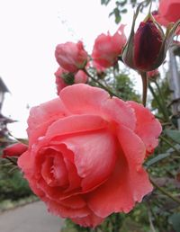 009薔薇アメリカ