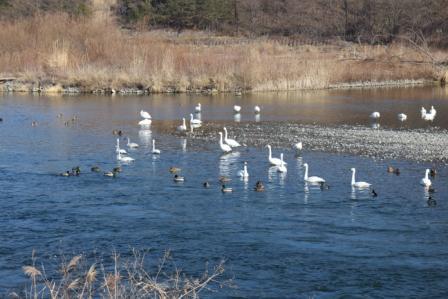 20130115白鳥1