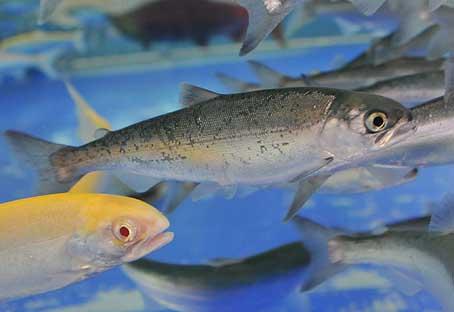 ベニザケ若魚01