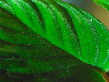 ホマロメナセランゴール黒