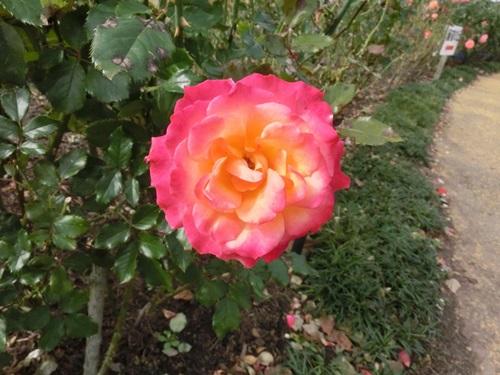 バラ 赤×黄