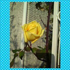 バラが 咲いたよ~