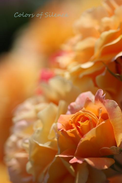 rose orange1